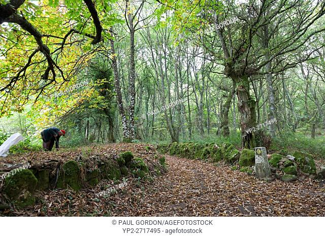 Province of Lugo, Spain: Near the village of Bacurín a man harvests sweet chestnuts. A scallop shell marks the Camino Primitivo leading the way to the village...