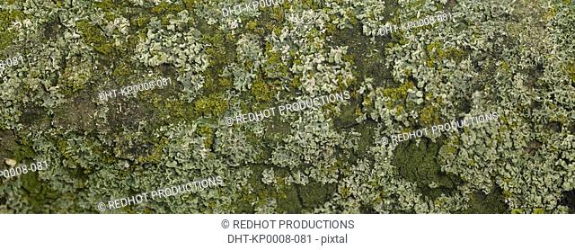 Lichen on tree trunk close up