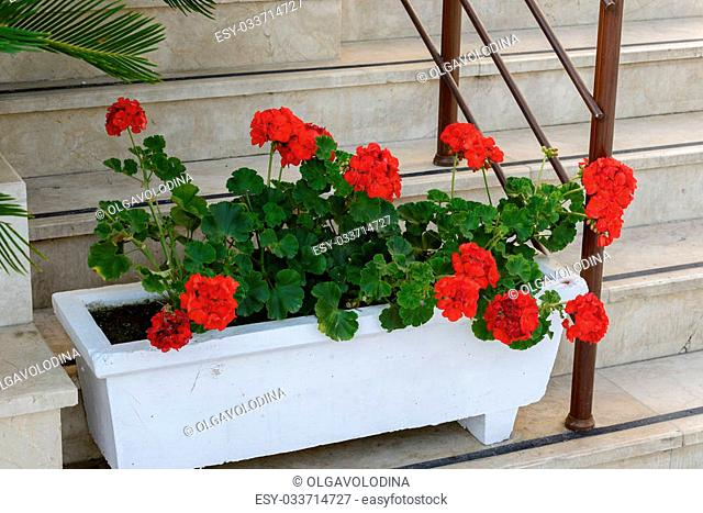 Red Geraniums in pots in the garden