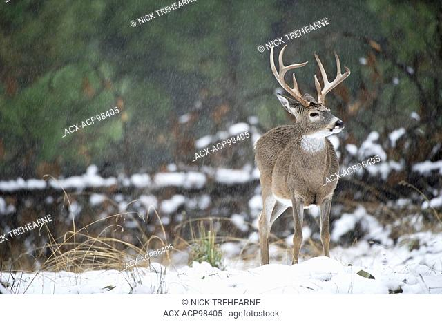 whitetail, deer, Odocoileus virginianus, buck, male, rocky mountains, Idaho, United States, raining