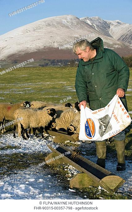 Sheep farming, shepherd feeding ram lambs in troughs, with concentrates from plastic feed bag, Keswick, Cumbria, England, winter