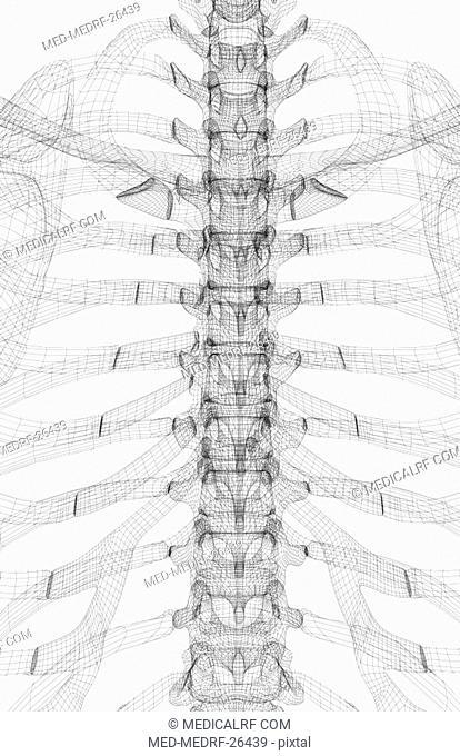 The bones of the thoracic vertebrae