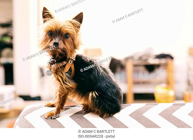 Portrait of yorkshire terrier sitting on top of ironing board in fashion studio