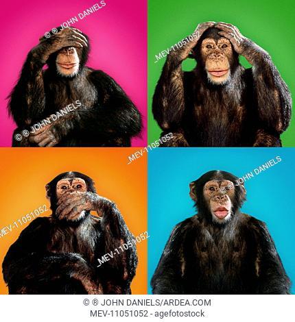 Chimpanzee See no evil - hear no evil - speak no evil - kiss Digital Manipulation