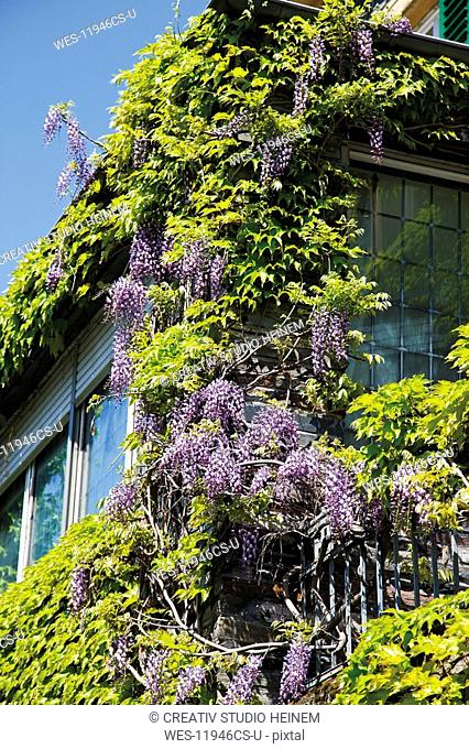 Germany, Rhineland-Palatinate, Bernkastel-Kues, Building with Chinese wisteria Wisteria sinensis in bloom, close-up