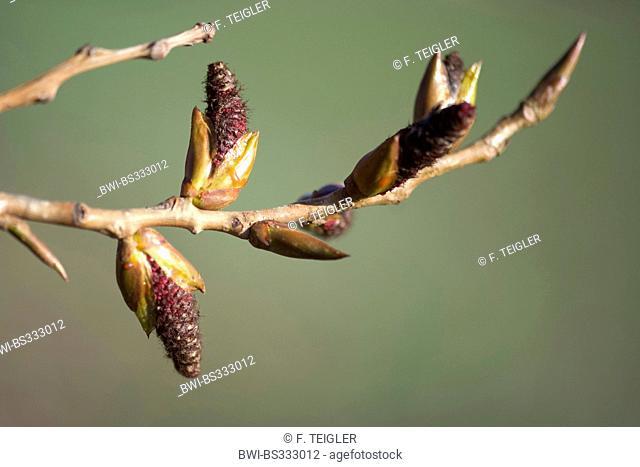 Grey Poplar (Populus x canescens, Populus canescens), male inflorescences