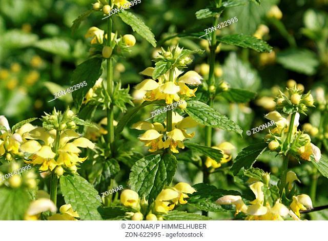 Lamium galeobdolon, Goldnessel, Yellow archangel