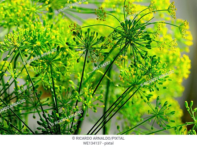 Dill Weed Plant decoration in Miami home