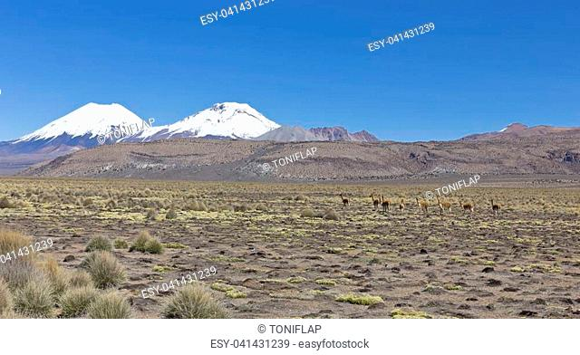 Group of vicuña (Vicugna vicugna) or vicugna in Sajama National Park, Bolivia. Range of the Andes. Vicuñas live at altitudes of 3,200 to 4,800 m