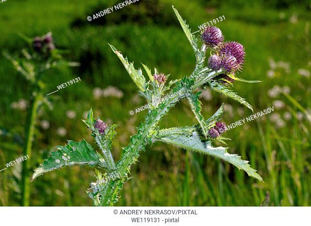 Greater burdock, edible burdock, burdock, lappa Arctium lappa  Lake Baikal, Siberia, Russian Federation