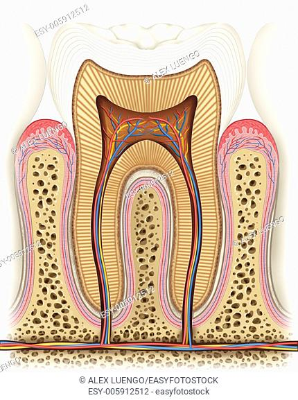 Illustration of a healthy tooth dissected where we can see the different layers and elements that compose