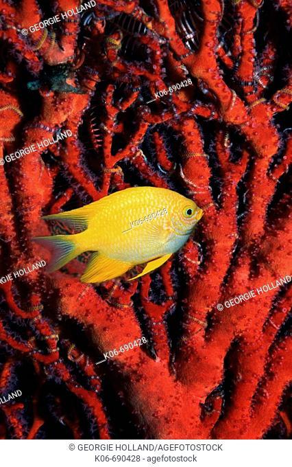 Golden damsel (Amblyglyphidodon aureus) swimming past gorgonian coral fan. Andaman Sea, Thailand