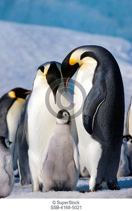 antarctica, weddell sea, snow hill island, emperor penguins aptenodytes forsteri, colony, couple with chick