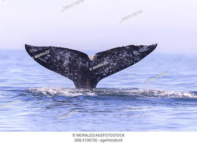 Central America, Mexico, Baja California Sur, Puerto San Carlos, Magdalena Bay (Madelaine Bay), Gray Whale (Eschrichtius robustus)
