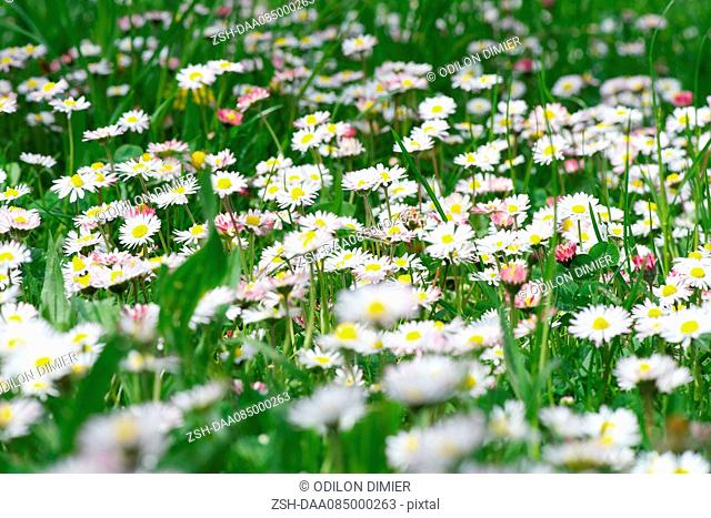 Daisies growing in field