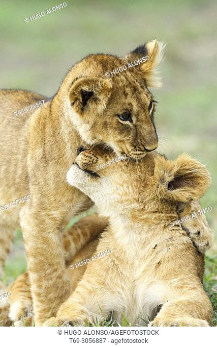 Two Puppy Lion. Panthera Leo. Kenia. Africa