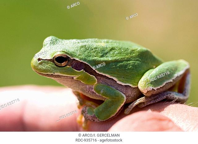 A small green frog on finger