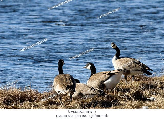 United States, Yellowstone National Park, listed as World heritage by UNESCO, Canada Goose (Branta canadensis)