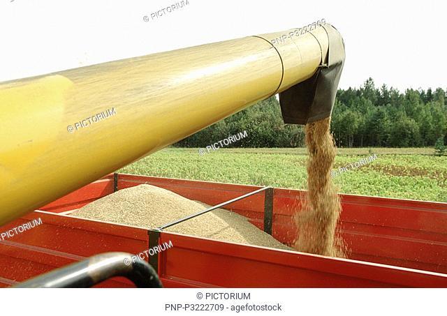 Combine harvester on the oat field