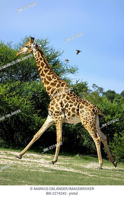 Giraffe (Giraffa camelopardalis), Bwabwata National Park, formerly Caprivi National Park, Mahango National Park, Caprivi, Namibia, Africa