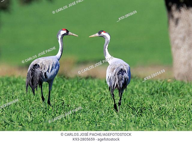 Common cranes searching for acorns in a Dehesa. Extremadura, Spain