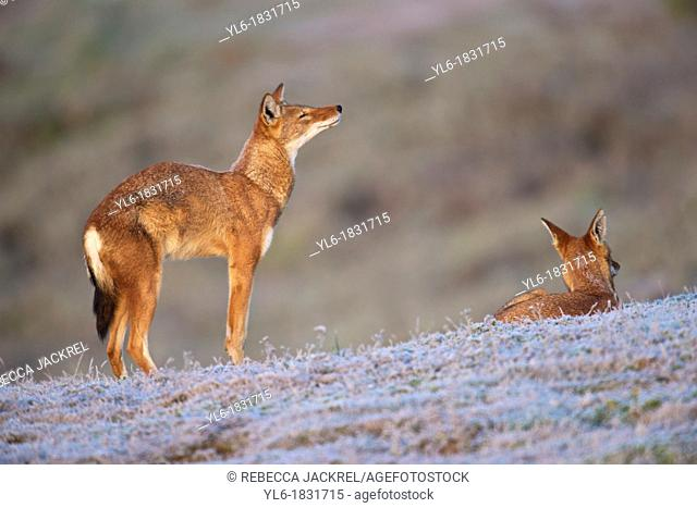 Ethiopian wolf stretching in the morning
