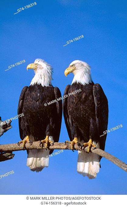 Bald Eagles (Haliaeetus leucocephalus). Alaska. USA