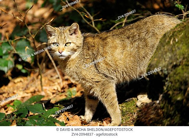 Close-up of a wildcat (Felis silvestris) standing in the forest