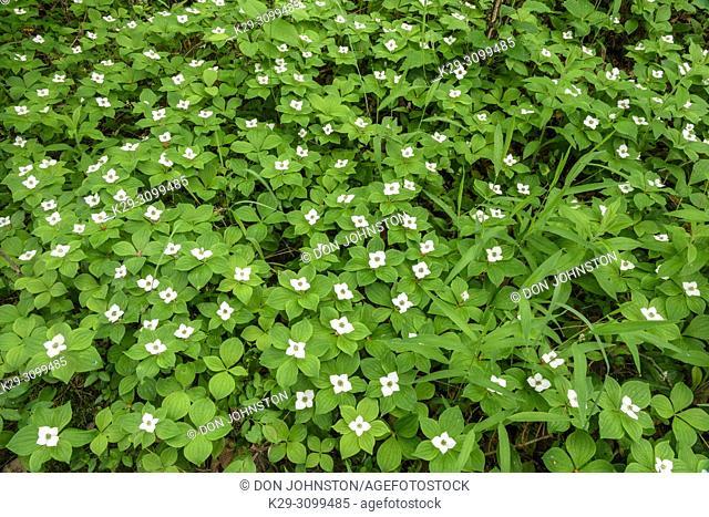 Flowering bunchberry (Cornus canadensis), Greater Sudbury, Ontario, Canada