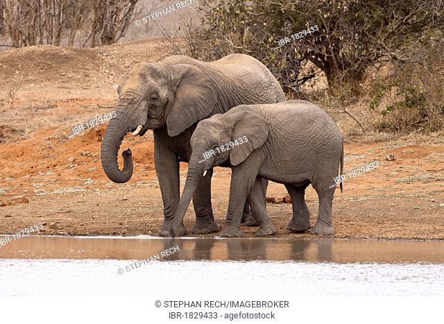 African Bush Elephant (Loxodonta africana) and calf drinking, Tshukudu Game Lodge, Hoedspruit, Greater Kruger National Park, Limpopo Province, South Africa