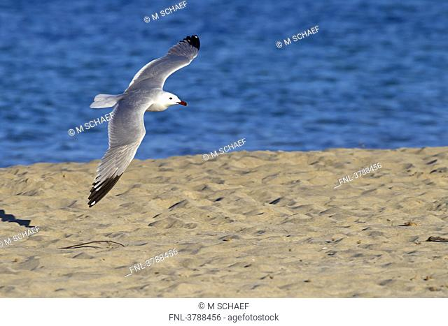 Audouin's Gull Larus audouinii flying over beach