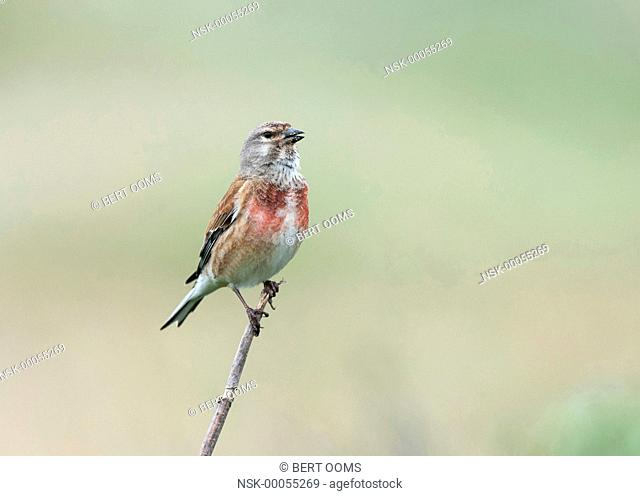 Common Linnet (Linaria cannabina) singing in free space, The Netherlands, Friesland, Ameland