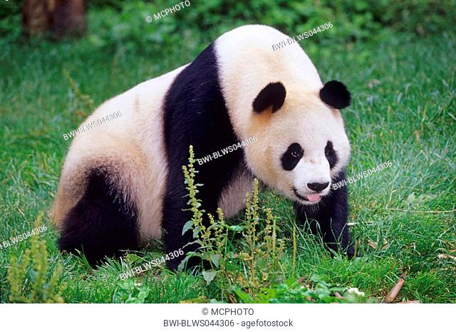 giant panda Ailuropoda melanoleuca, adult panda in the research station of Wolong, national animal of China, China, Sichuan, Wolong