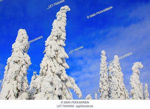 Snow covered trees in Koli National Park, Finland. Lieksa