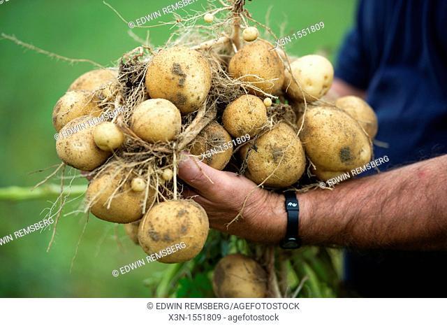 Man holding pile of fresh harvested potatoes