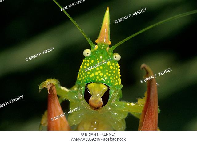 Young Horned Katydid / Cone-headed Katydid (Copiphora rhinoceros) Costa Rica, with funny face