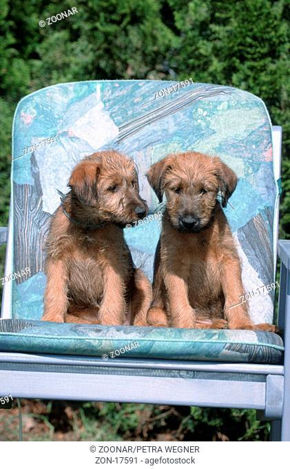 Irish Terrier, puppies, 9 weeks old  /  Irish Terrier, Welpen, 9 Wochen alt  /  [Saeugetiere, mammals, animals, Haushund, domestic dog, Haustier, Heimtier, pet