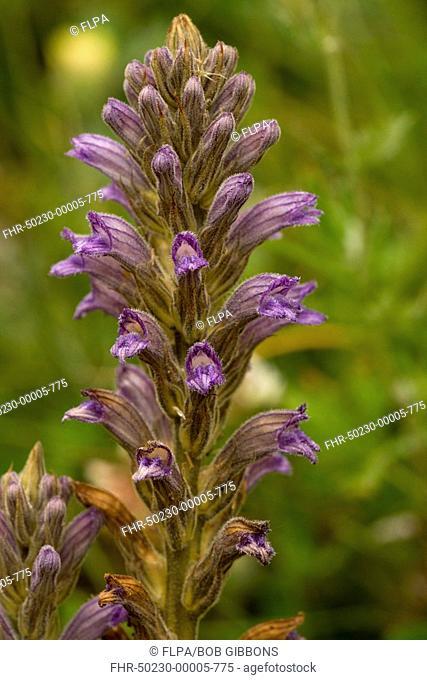 Purple Broomrape Orobanche purpurea flowering, Ecrins N P , Alps, France