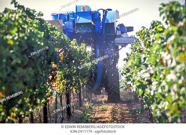 CALIFORNIA - Grapes being harvested at Vineyard in California