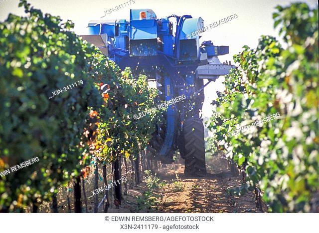 CALIFORNIA - Grapes being harvested at Vineyard in California