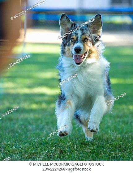 An Australian shepherd eagerly runs to its owner