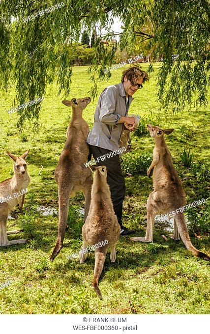 Australia, New South Wales, man feeding kangoroos