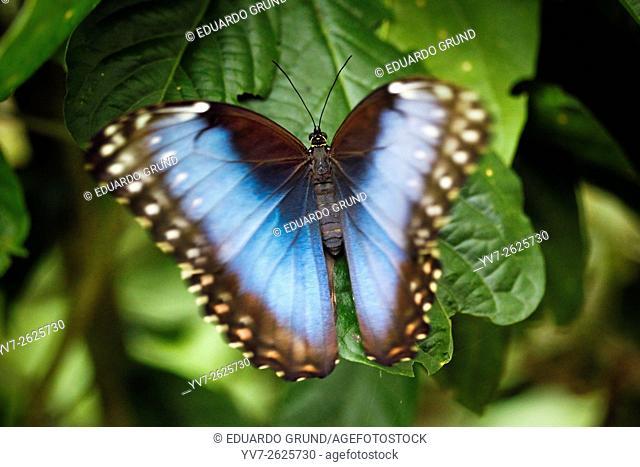 Monteverde, Morpho Butterfly. Monteverde, Puntarenas, Costa Rica, Central America, America