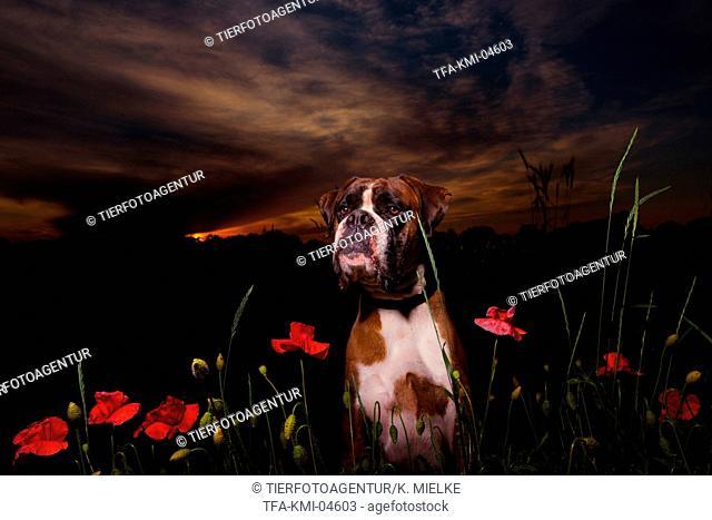 German Boxer Portrait