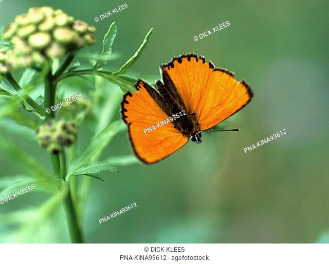 Scarce Copper Lycaena virgaureae - Moravian karst, Morava, Moravia, Carpathians, Czech republic, Europe