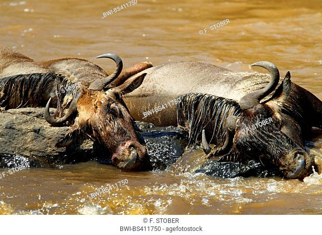 Eastern White-bearded Wildebeest (Connochaetes taurinus albojubatus), cadaver in a river, Kenya, Masai Mara National Park