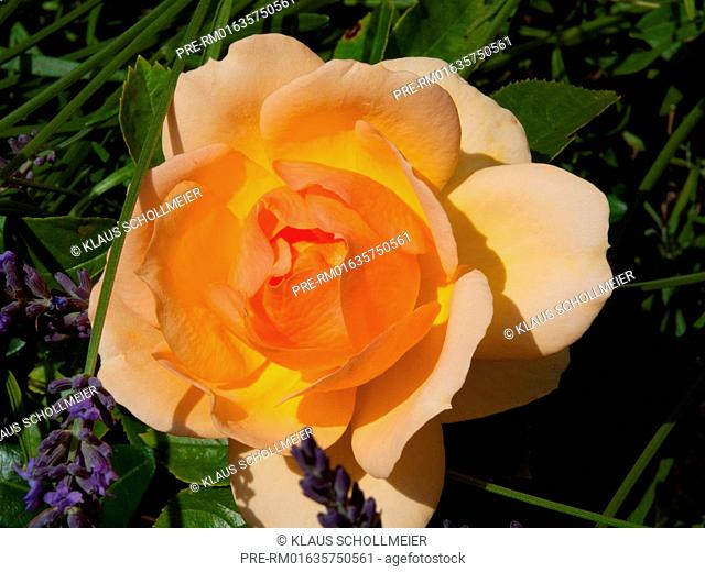 Yellow Rose with lavender / Gelbe Rose mit Lavendel