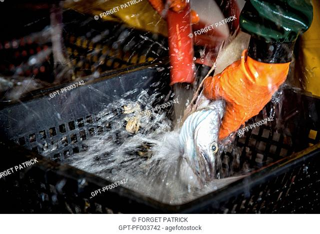 SLUICING DOWN OF THE FISH (YOUNG HAKE), SEA FISHING ON THE SHRIMP TRAWLER 'QUENTIN-GREGOIRE' OFF THE COAST OF SABLES-D'OLONNE (85), FRANCE