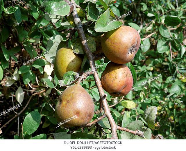 Pear 'Doyenné du comice bronzée (Suzanne's vegetable garden, Le Pas, Mayenne, France)