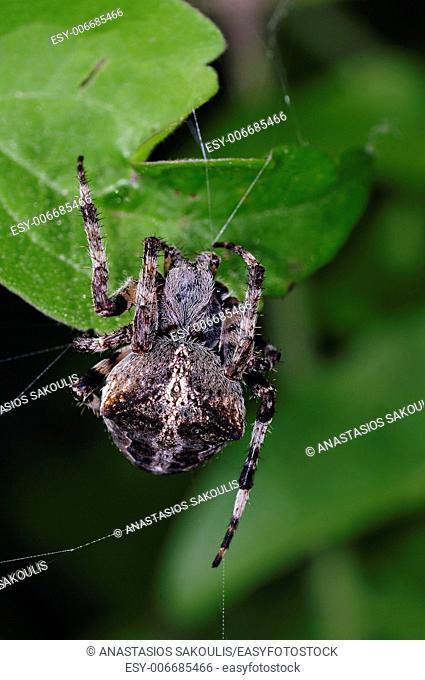 Araneus angulatus spider, Greece